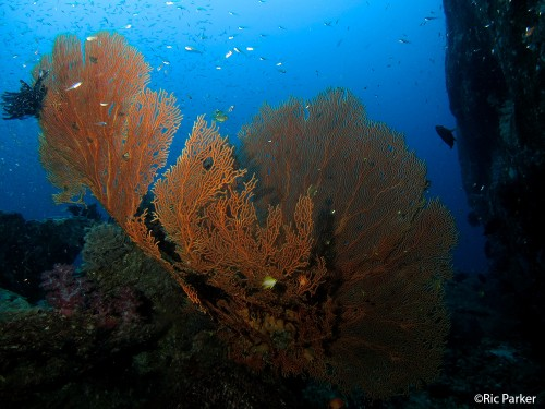 Gorgonian Seafan at Koh Tachai