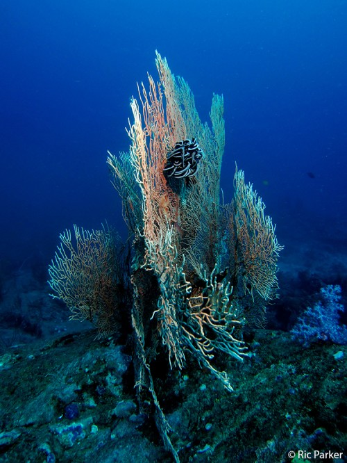 Seafan at Koh Tachai