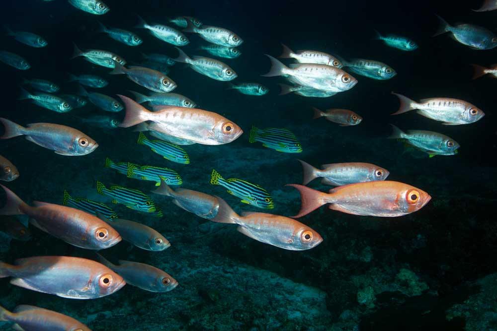 bigeye-fish