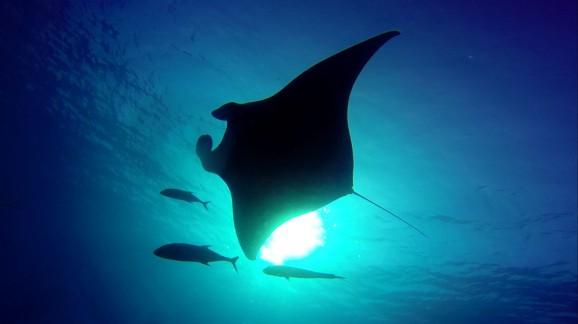 Manta Ray snorkeling in Thailand