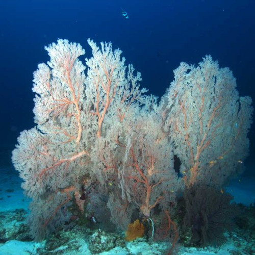 Large sea fan at the Three Trees
