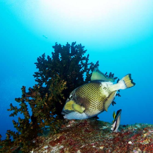Titan Triggerfish in the Similan Islands