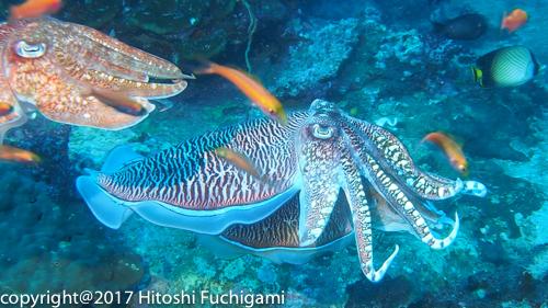 Pharoah Cuttlefish at Richelieu Rock