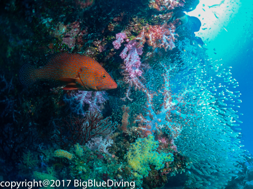 Coral Grouper in the SImilan Islands