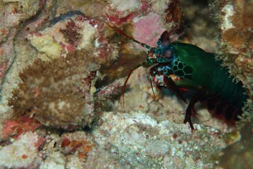Peacock Mantis Shrimp at Richelieu rock