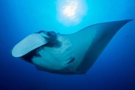 A Manta Ray on a Similan Islands Liveaboard