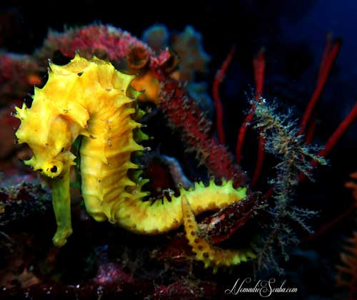 Thorny Seahorse at Richelieu Rock