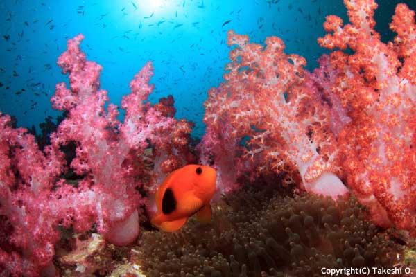 clark-anemonefish