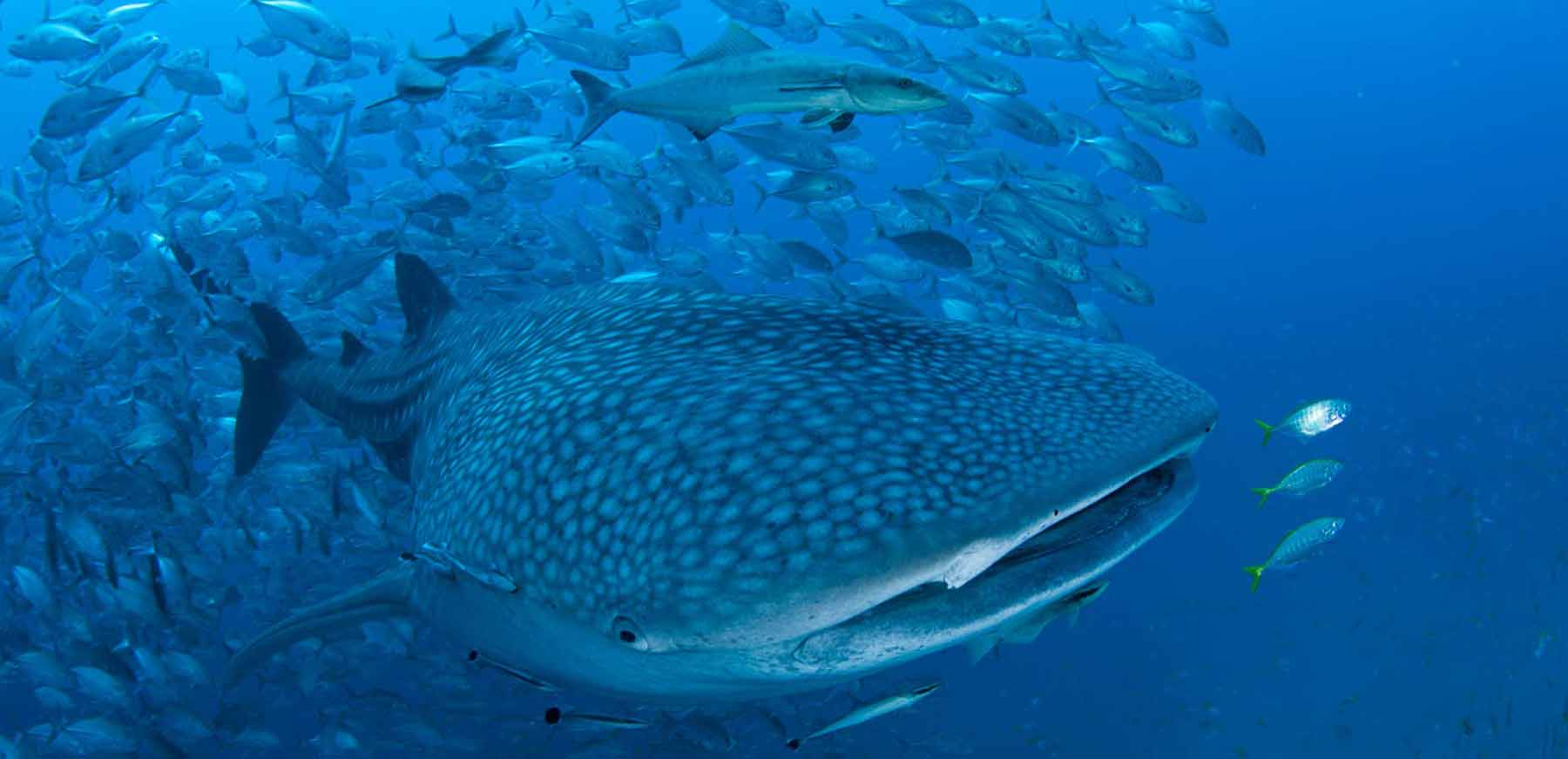 Whale Shark Homepage Big Blue Diving Khao Lak