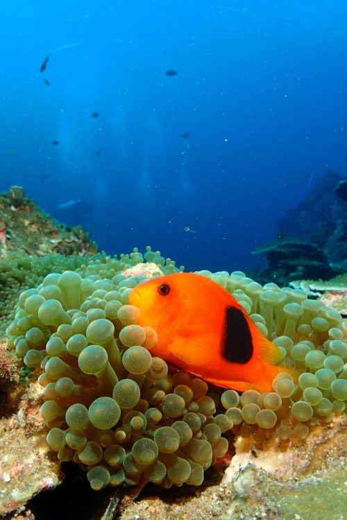 Tomato Anemone Fish at Richelieu Rock