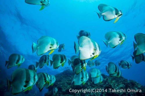 Bat Fish at Three Trees