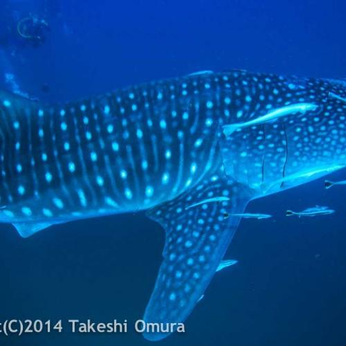 Whale Shark Richelieu Rock