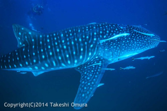 Whale Shark Richelieu Rock