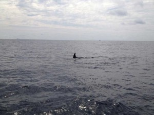 orca killer whale similan islands