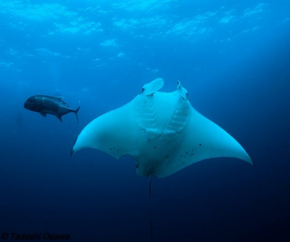 Reef Manta Ray at Koh Tachai in the Similan Islands Thailand