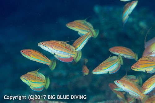 Flasher wrasse in the Similan Islands