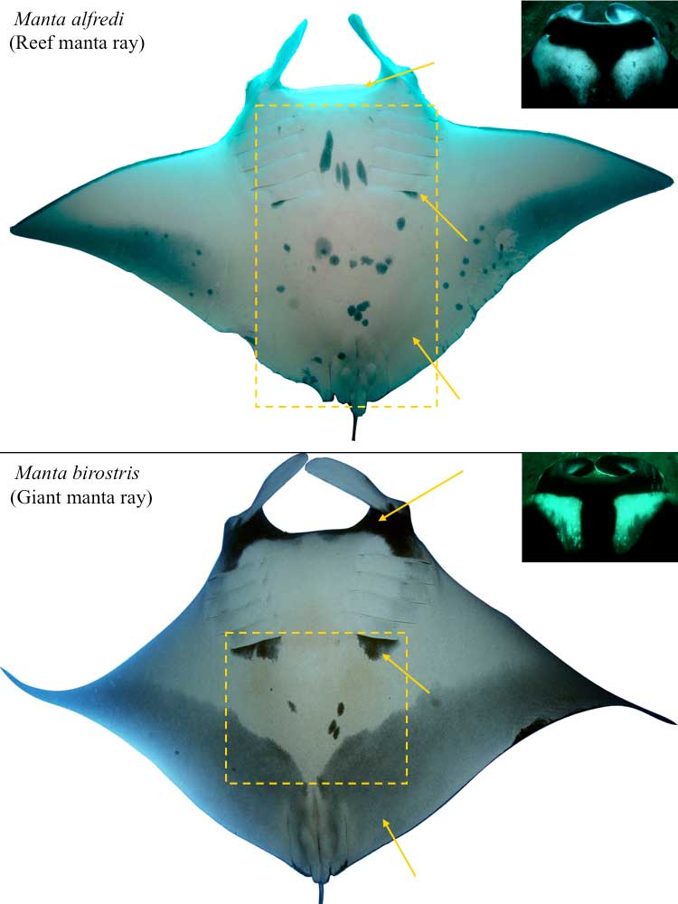 Physical differences between a Giant Manta Ray and Reef Manta Ray