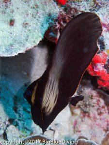 Juvenile Batfish at the Surin Islands