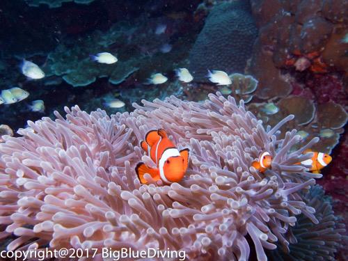 Anemone clownfish in the Surin Islands