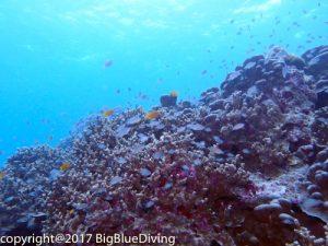 Pristine hard corals at the Surin Islands