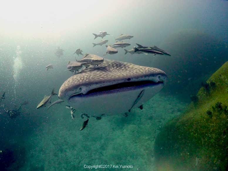 Whaleshark Cobia