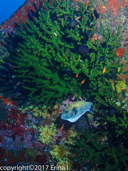 Puffer fish in green corals