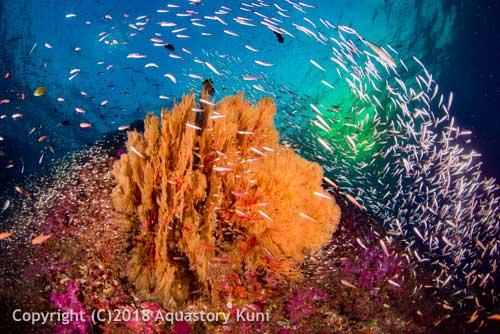 Fish life at Richelieu Rock