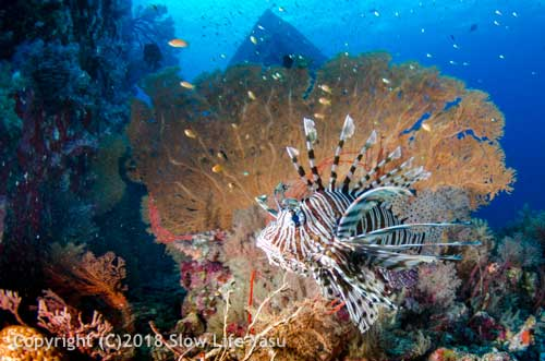 Lionfish and a seafan
