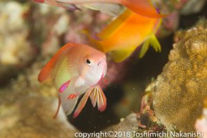 Small reef fish occupy healthy corals