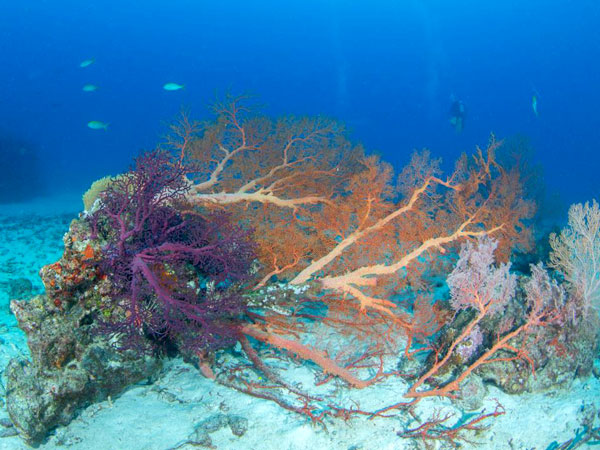 Collapsed gorgonian sea fan at the similan islands