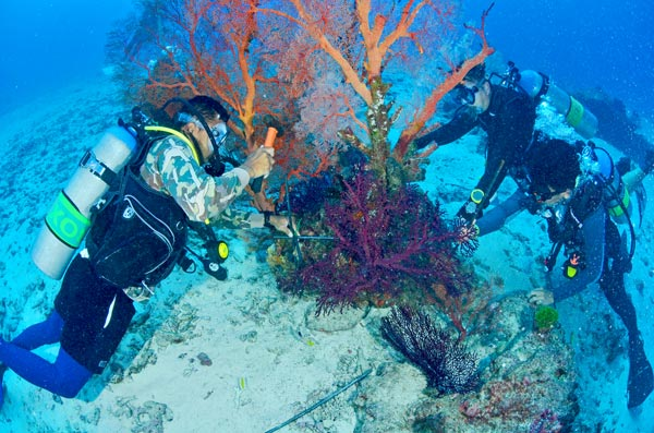 Hammering a metal frame to fix a similan gorgonian sea fan into place