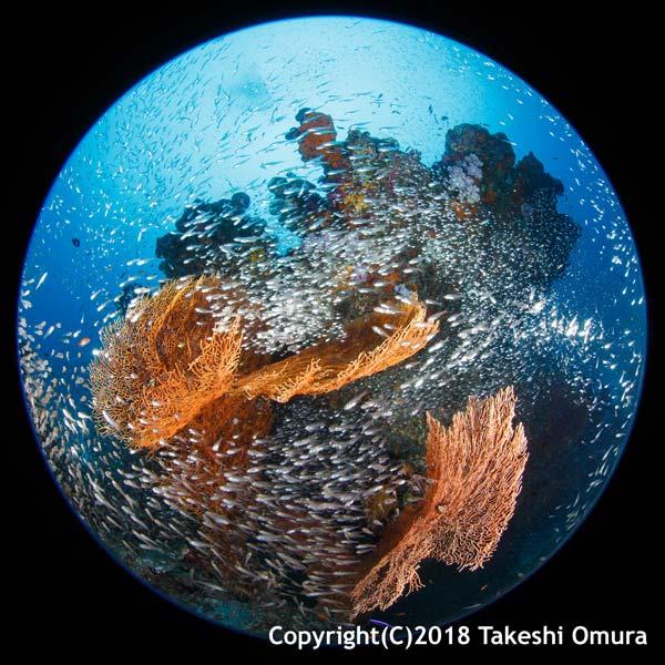 Similan Islands Sea Fan and new fish life