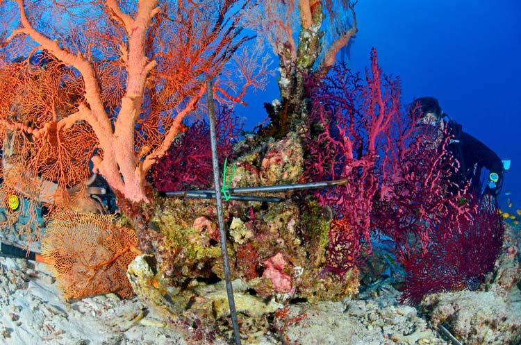 metal frame to fix broken sea fan at similan island 9