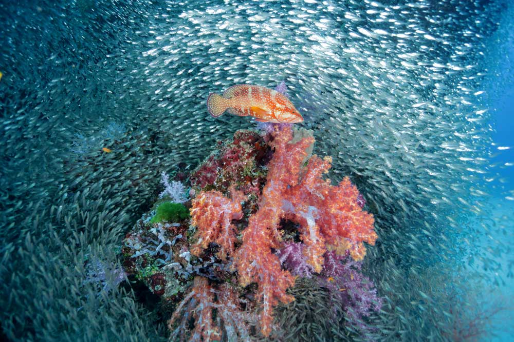 Coral-Grouper-Anitas-Reef