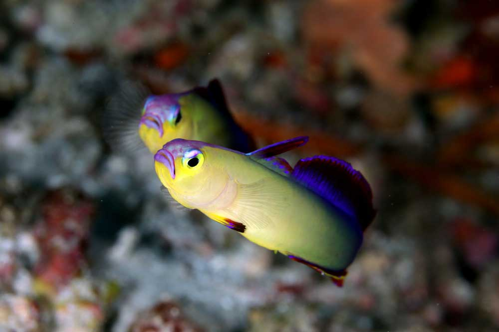 Purple Fire Gobies