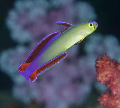 Purple Fire Goby in the Similans