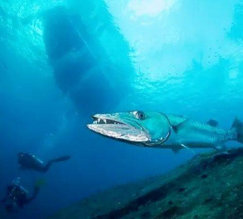 Great Barracuda underneath the MV Hallelujah